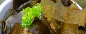 Les différentes algues